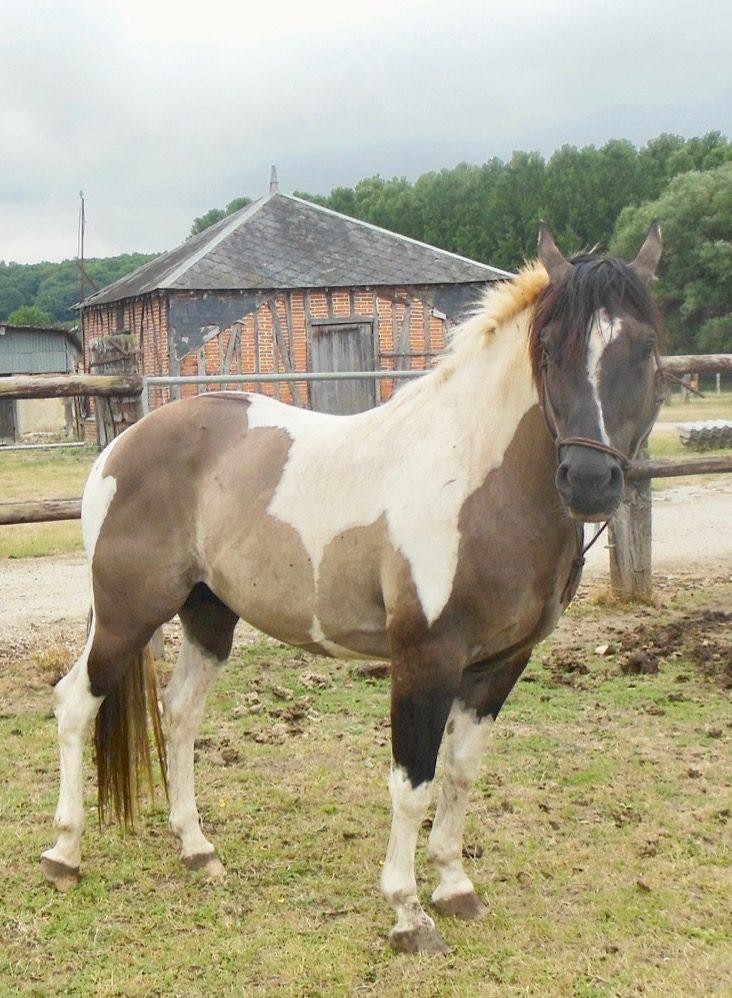 Paint-horses à vendre par Phil'ing Horse